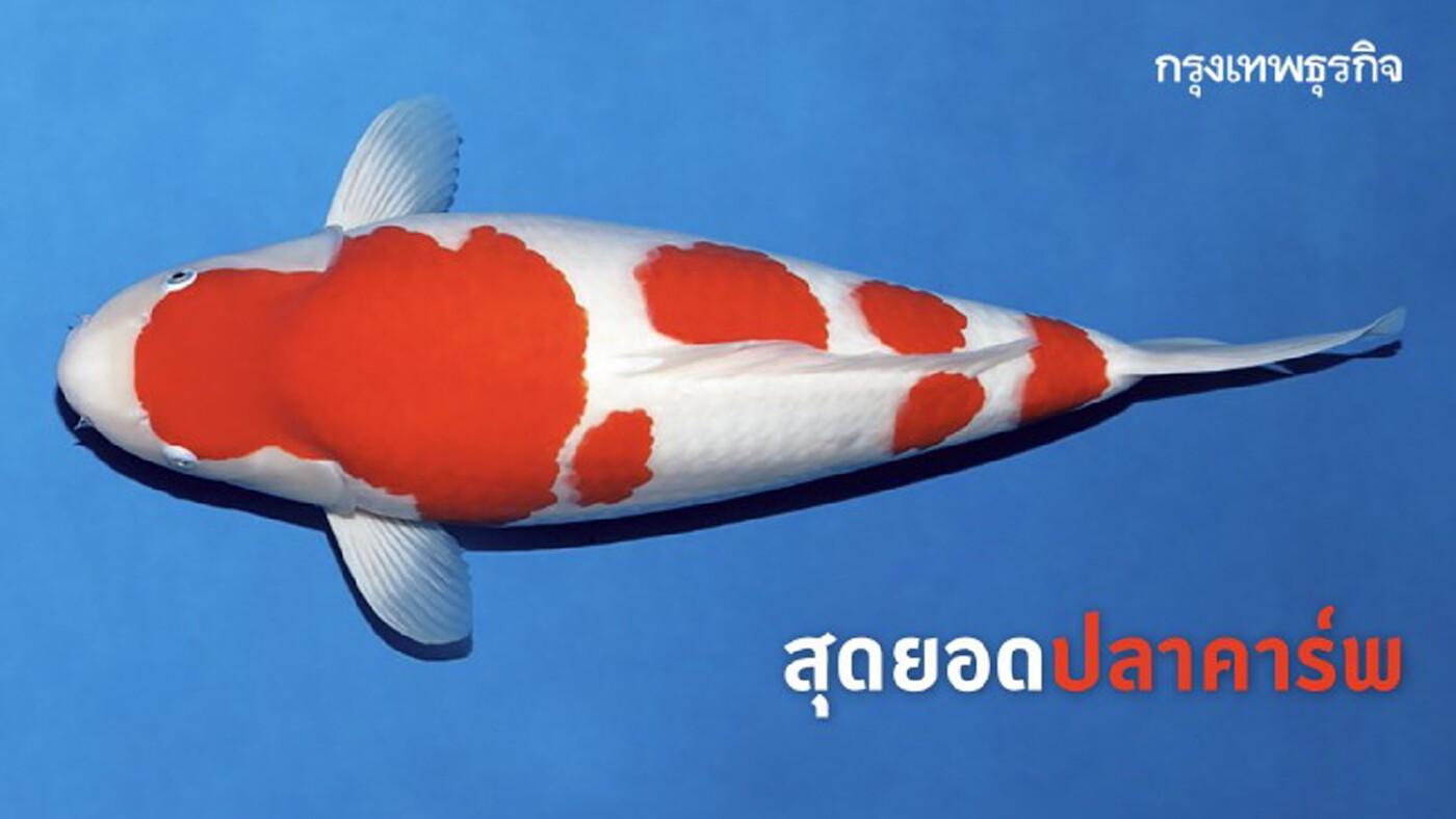 สุดยอด 'ปลาคาร์พ' ถ้าแพงสุดฤทธิ์ ต้องสวยบาดใจ