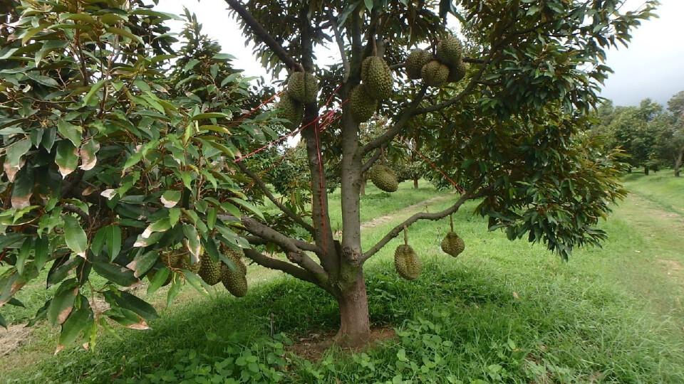 กรมส่งเสริมการเกษตร เตรียมแผนป้องไม้ผลเสียหายจากพายุโกเซน