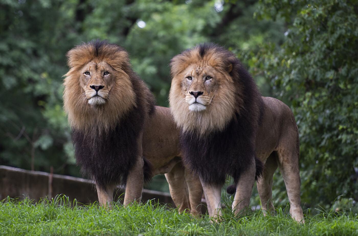 """""""เสือ-สิงโต"""" สวนสัตว์วอชิงตันติดโควิด"""